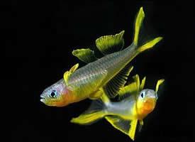 一组霓虹燕子鱼图片