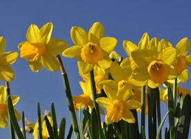 清秀优雅的黄色水仙花图片