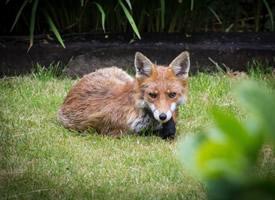 诡计多端的尖嘴狐狸图片