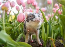 郁金香和宠物猪图片欣赏