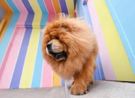 像个小狮子一样,威风凛凛的松狮
