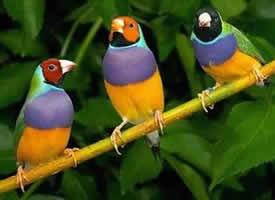 绚丽多彩的七彩文鸟图片