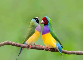 颜色像彩虹一样美丽的七彩文鸟图片