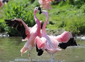 一组粉色的火烈鸟图片