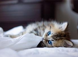 相貌迷人的波斯猫图片