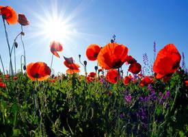 唯美娇艳的罂粟花图片桌面壁纸