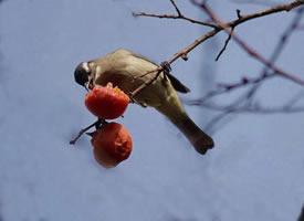 正在吃果子的白头鹎图片