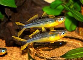 美丽的霓虹燕子鱼图片