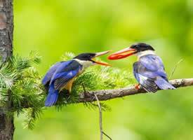 美丽的蓝翡翠鸟图片