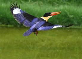 一组飞翔的蓝翡翠鸟图片