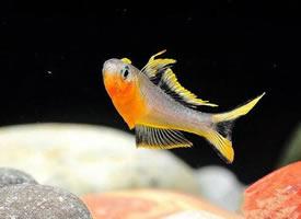 欢快游动的霓虹燕子鱼图片