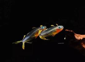 活蹦乱跳的霓虹燕子鱼
