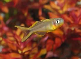 活泼可爱的霓虹燕子鱼图片