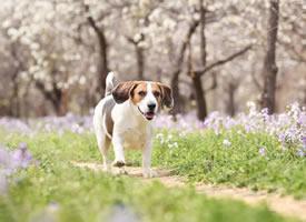 紫色花丛中开心的比格犬