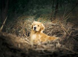一组帅帅的金毛狗狗图片