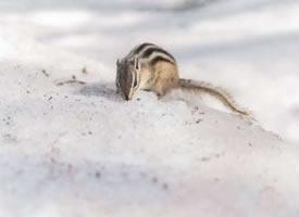 雪地上可爱的花栗鼠图片