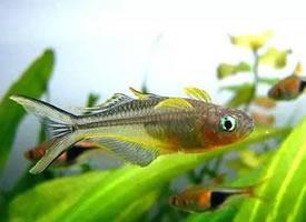 一组漂亮的霓虹燕子鱼图片