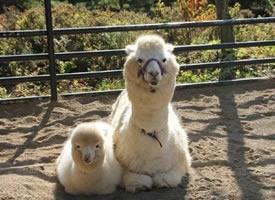 羊驼和妈妈的可爱图片