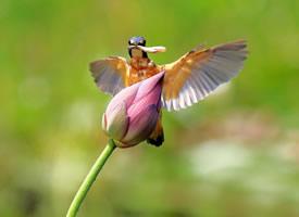 荷花上的翠鸟图片