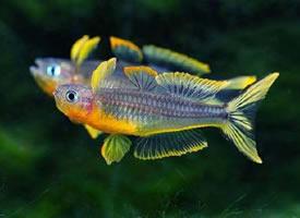 活泼轻快的霓虹燕子鱼