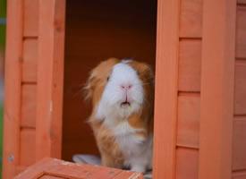 刚起床的小可爱豚鼠图片