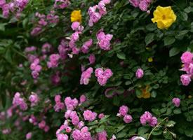一组超好看的蔷薇花图片