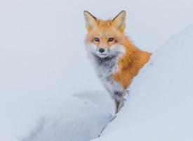 可爱的狐狸摄影高清美图