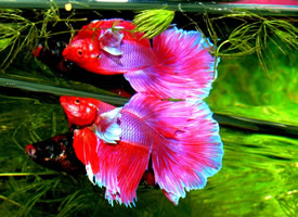 五彩缤纷的泰国斗鱼图片