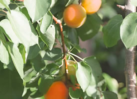 一组半红半熟的杏子图片