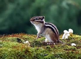 可爱的花栗鼠在不停地吃各种干果