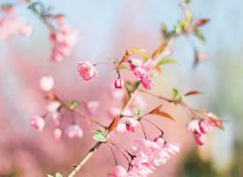 岁岁樱花树树春的图片