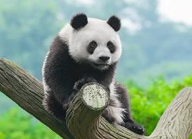 可爱的国宝大熊猫宽屏摄影高清美图
