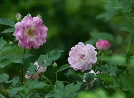 粉色超唯美的蔷薇花图片