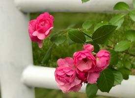 一组美丽大方的蔷薇花图片