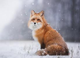 来自大自然野外的狐狸高清图片