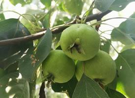 挂在树上的青苹果图片