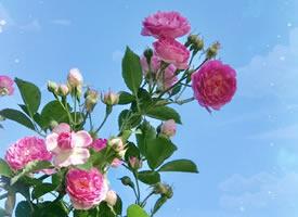 一组唯美盛开的蔷薇花图片
