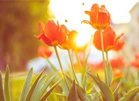美丽大方的郁金香图片欣赏