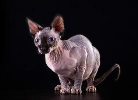 加拿大无毛猫素材摄影美图 