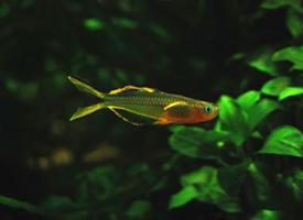 体型娇小的霓虹燕子鱼图片