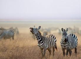 非洲草原斑马摄影高清美图