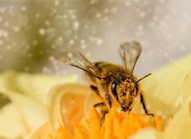 近距离观察采蜜的蜜蜂