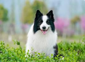 春天里格外开心的狗狗图片