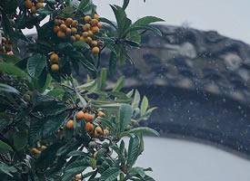 雨后超新鲜的枇杷图片欣赏