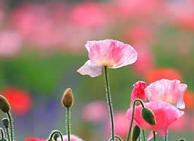 小清新虞美人花卉图片桌面壁纸