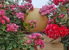 开的很茂盛的蔷薇花图片