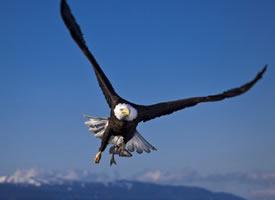 翱翔天空的雄鹰摄影高清美图 