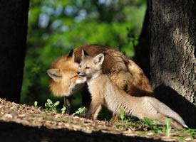 可爱的狐狸,大自然的美丽生灵