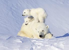 喜欢黏着妈妈的小北极熊图片