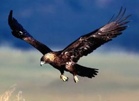 翱翔天空的雄鹰摄影图片